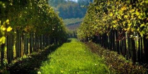 un filare tra le viti nella campagna